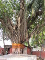 Banyan tree (1).JPG