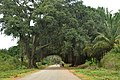 Banyan tree by highway.jpg