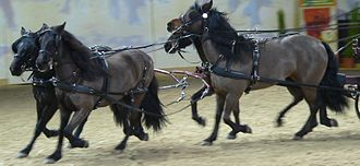 Bardigiano - Bardigiano ponies in harness.