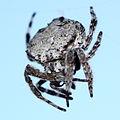 Bark Spider 2011.jpg