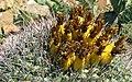 Barrel Cactus Fruit.jpg