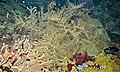 Basket Star (Astroboa nuda) (6053316668).jpg