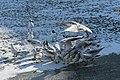 Bassin des Morts gelé, 2012-02-11, mouettes rieuses 02.jpg