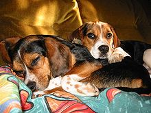 Beagle Hound Cute Dog