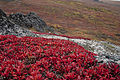 Bearberry and lichen (7977125277).jpg