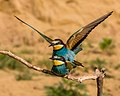 Bee-eaters Mating (19367411831).jpg