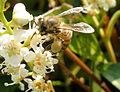 Bee-with-pollen (45256824).jpg