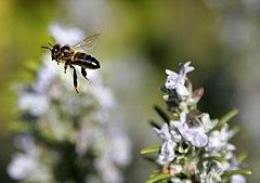 Bee mid air.jpg