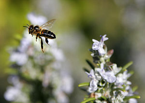 A bee (Apis mellifera) in mid air flight Franç...