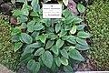 Begonia elaeagnifolia - Botanischer Garten, Dresden, Germany - DSC08787.JPG
