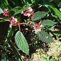 Begonia rosea (14196210298).jpg