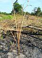Bekas areal terbakar (18).JPG
