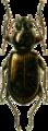 Bembidium lampros Jacobson.png