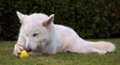 Berger Blanc Suisse3.png