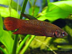 Betta tussyae (male) 2010-04-01.JPG