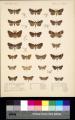 Biologia Centrali-Americana Lepidoptera Heterocera Plate 37.png