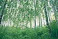 Birch trees in a grove (Unsplash).jpg