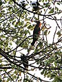 Bird Wreathed Hornbill Rufous-necked Hornbill IMG 4614 02.jpg