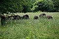 Bison Herd (3681470346).jpg