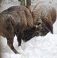 Bison bonasus 1.jpg