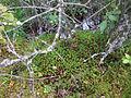 Björnmossa (Polytrichum sp) på Vintermossen i Gökhems sn 2615.jpg