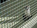 Black-footed Ferret in Cage (5219917654).jpg