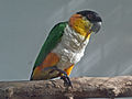 Black-headed Parrot SMTC.jpg