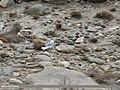 Black-legged Kittiwake (Rissa tridactyla) (31285454764).jpg