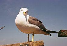 Il Larus crassirostris, tipico uccello del porto di Rokkenjima