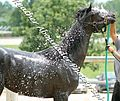 Black Egyptian Arabian Filly Getting a Bath(Nahkda Nera) (2661118116).jpg