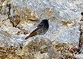 Black Redstart. Phoenicurus ochruros (39219200645).jpg