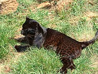0a0094fb7f09a Markings on a female black leopard at the Rhino and Lion Nature Reserve,  Kromdraai, South Africa