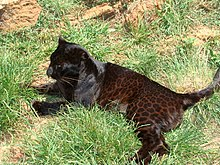 Note the markings on this female black leopard.
