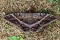 Black witch moth (Ascalapha odorata).JPG