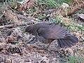 Blackbird, Bystrc 12.JPG