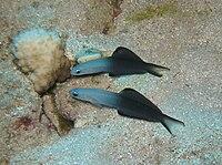 Blackfin Dart Gobies in front of their hole.jpg