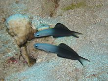 Blackfin Dart Gobies in front of their hole.jpg