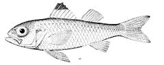 Blackmouth bass Synagrops bellus.jpg