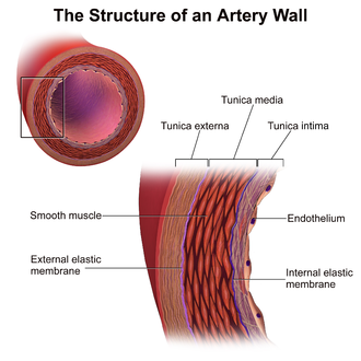 Artery - Microscopic anatomy of an artery.