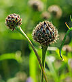 Bloemknoppen van Centaurea dealbata 'Steenbergii'. Locatie, De Kruidhof Buitenpost.jpg