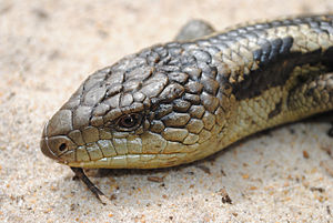 Blotched Blue-tongued Lizard (Tiliqua nigrolutea).jpg