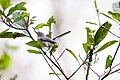 Blue-gray gnatcatcher (20080768078).jpg