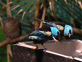 Blue-necked Tanagers, eating.jpg