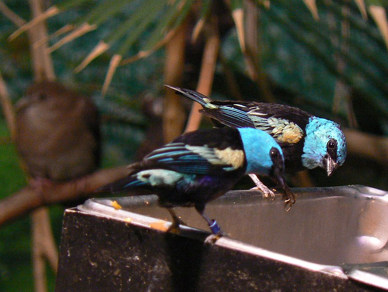 File:Blue-necked Tanagers, eating.jpg
