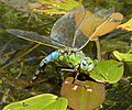 Blue Emperor female laying. Anax imperator (34996501084).jpg