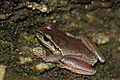 Blue Mountains Tree Frog (Litoria citropa) (8398126916).jpg