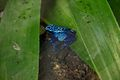 Blue poison dart frog at Chester Zoo.jpg