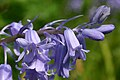 Bluebell Flowers Hampshire UK.jpg