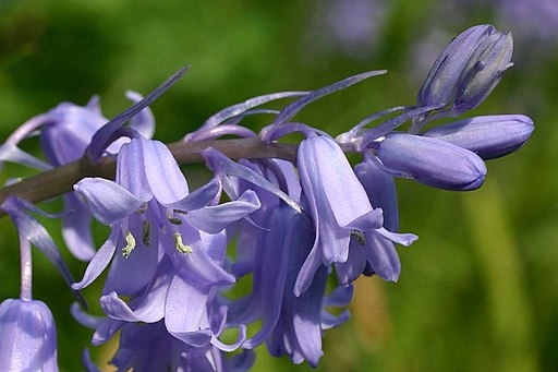 Bluebell Flowers and the story of the sweets of May