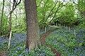 Bluebells, Dane valley - geograph.org.uk - 1289565.jpg